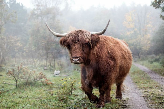 Scottish Highlander in the Fog