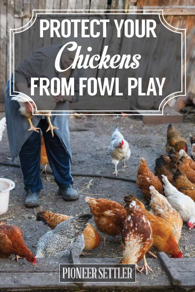 5 Ways To Protect Your Chickens from Fowl Play | Chicken Raising Tips