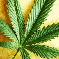 Spain Study Confirms Hemp Oil Cures Cancer without Side Effects -