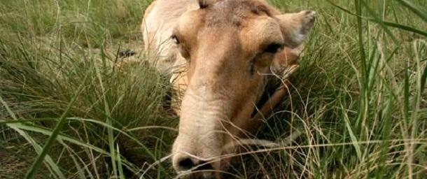 1-Antelopes-Dead-Kazakstan-2