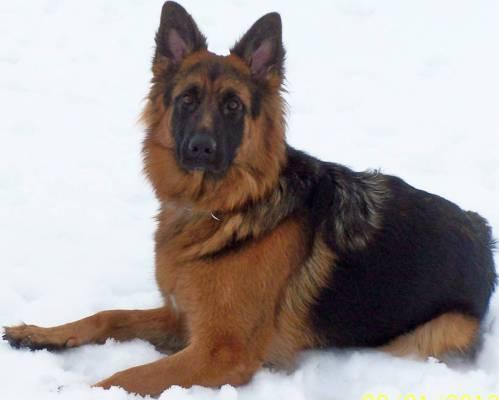 Medium Of German Shepherd Long Hair