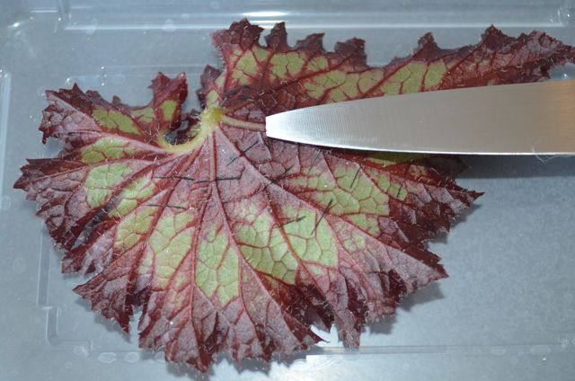 Knife and Leaf