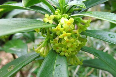 世界一危険な植物ほか 世界記録・ギネス記録を淡々と画像付で紹介していくスレ