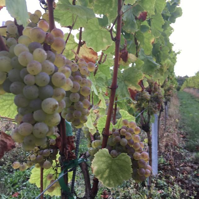 Bonus round! Were picking the grapes from a friends biodynamicallyhellip