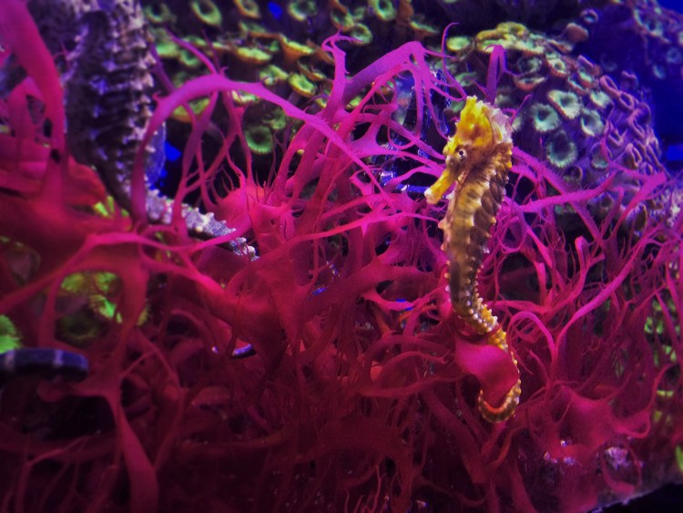 Seahorses at Denver Downtown Aquarium 1