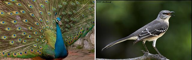 Peacock-Mockingbird