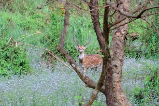 Deer - Parc national du Chitwan