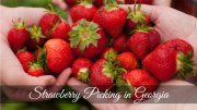 strawberry picking in georgia