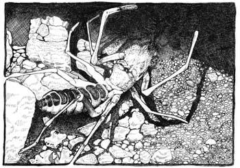 "Pale Wind Scorpion 10"" x 7"""