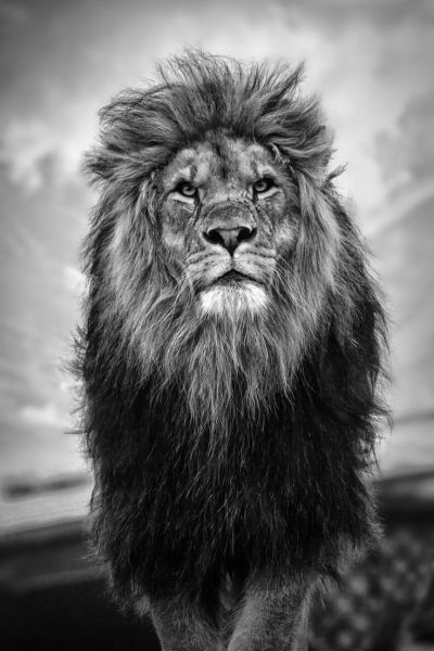 HD Wallpaper iPhone King Lion | 2019 3D iPhone Wallpaper