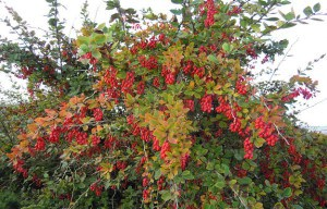 medicinal plants | barberry