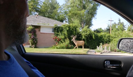 DEER AT HOUSE DOESN'T LOOK REAL
