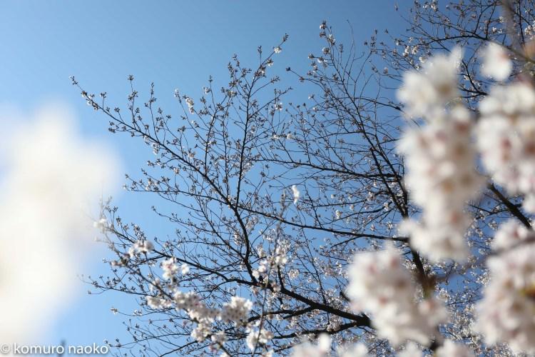 くにたちの桜