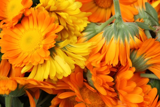 Calendula officinalis (Pot Marigold or Poet's Marigold)