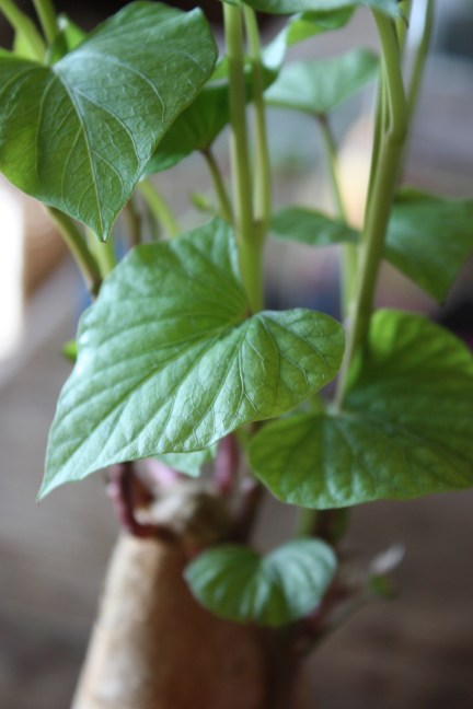 Growing Sweet Potatoes as a Houseplant
