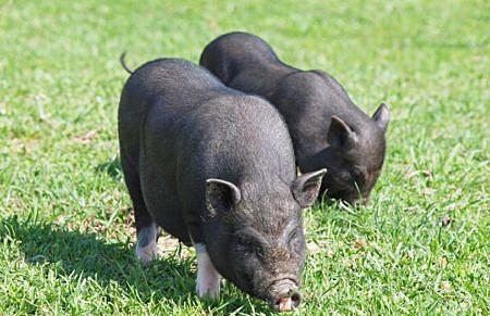Mini pig on green meadow
