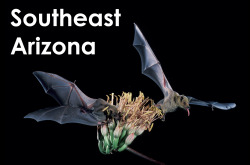 Southeast Arizona. I helped study the migration and foraging ecology of the nectar-feeding lesser long-nosed bat.