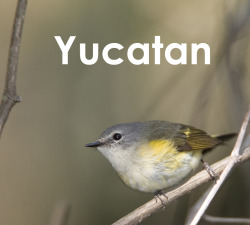 Yucatan, Mexico. I worked with American redstarts in the mangroves of Celestun, Mexico.