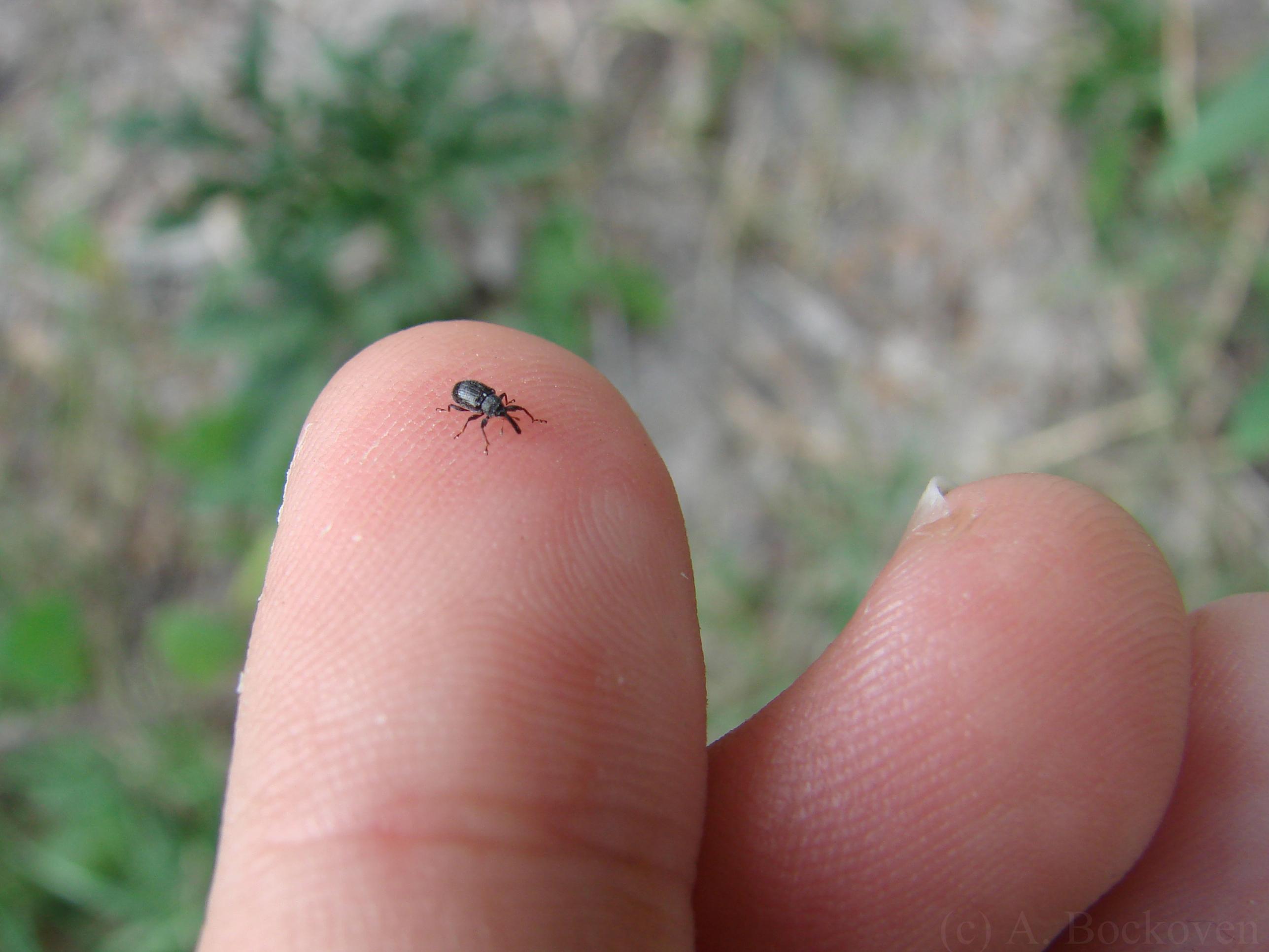 Gracious Long Bugs On Flowers Small Black Beetle Identification Small Black Beetle Utah Tiny Black Beetle houzz-03 Small Black Beetle