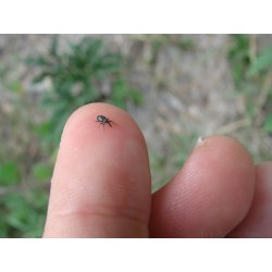 Small Crop Of Small Black Beetle