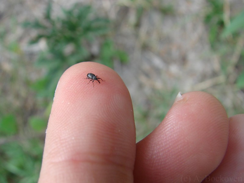 Large Of Small Black Beetle