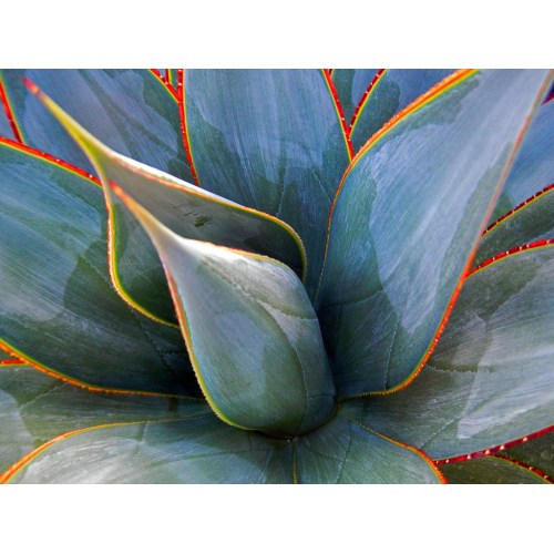 Medium Crop Of Agave Blue Glow