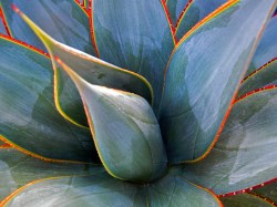 Small Of Agave Blue Glow