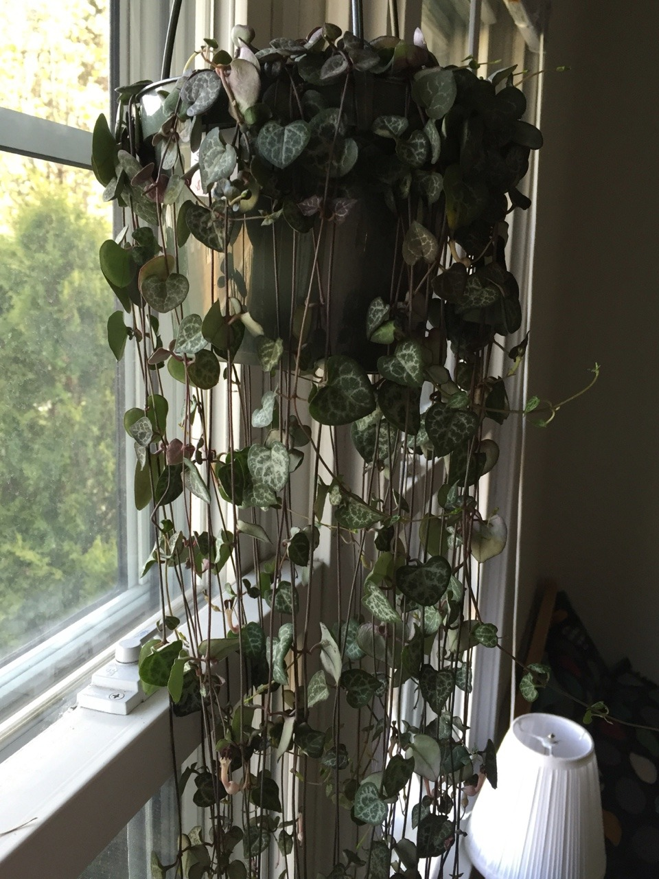 Nice In Full Hi I Recently Purchased This House Plant Journal String Hearts Plant Care String Seems New Growth I Recently Purchased This Ceropegia Woodii Long Hearts Plant Variegated houzz 01 String Of Hearts Plant