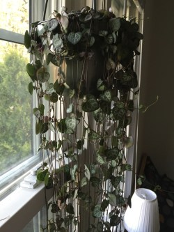 Small Of String Of Hearts Plant