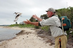 Nothing but Net: Biologists Are No Match for Wiley Willets.  A great article by Meg Robbins in the Vineyard Gazette that gives the play-by-play on a couple of tough luck days trying to catch that bird during a trip to Marthas Vineyard. link to article.