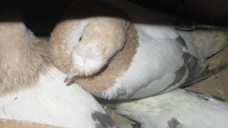 Украинских голубей не пропустили в Москву