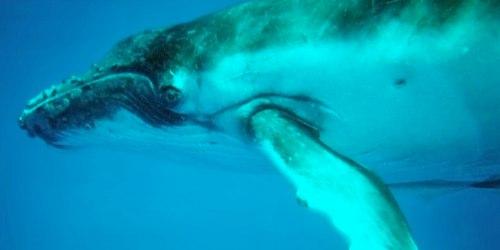 tonga-whale-underwater