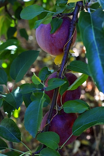 apples-on-tree.jpg
