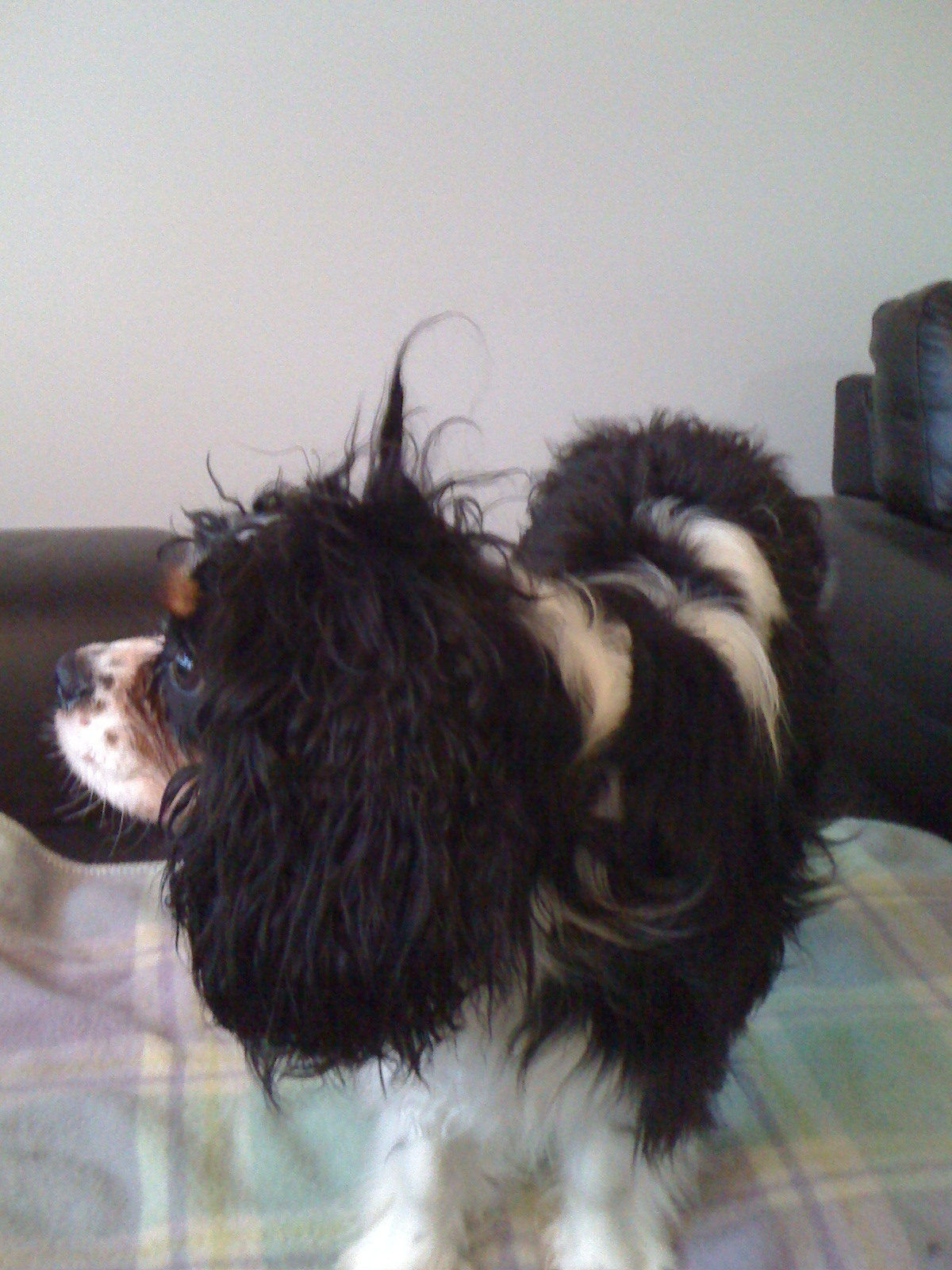 Grooming Your Cavalier King Charles