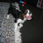 Vaccinations will keep your Cavalier King Charles happy