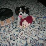 Cavalier KIng Charles George Puppy