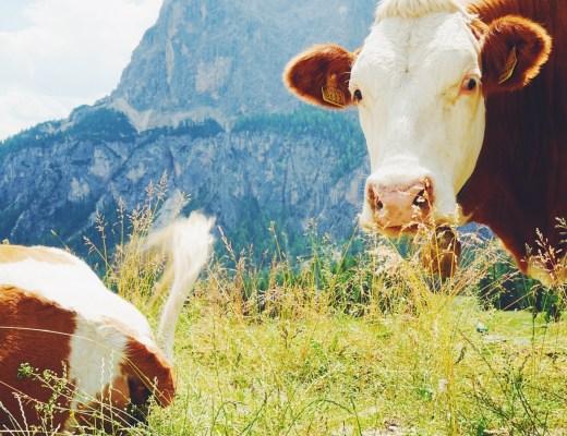 Cowbells Ringing