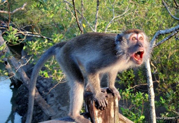 Macaque monkey in Malaysian Borneo on Bako Island