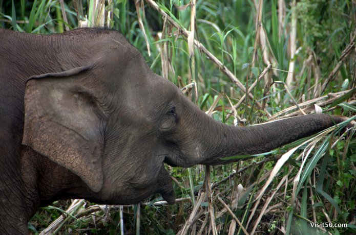 Asian Elephants have 100,000 muscles in their trunk!