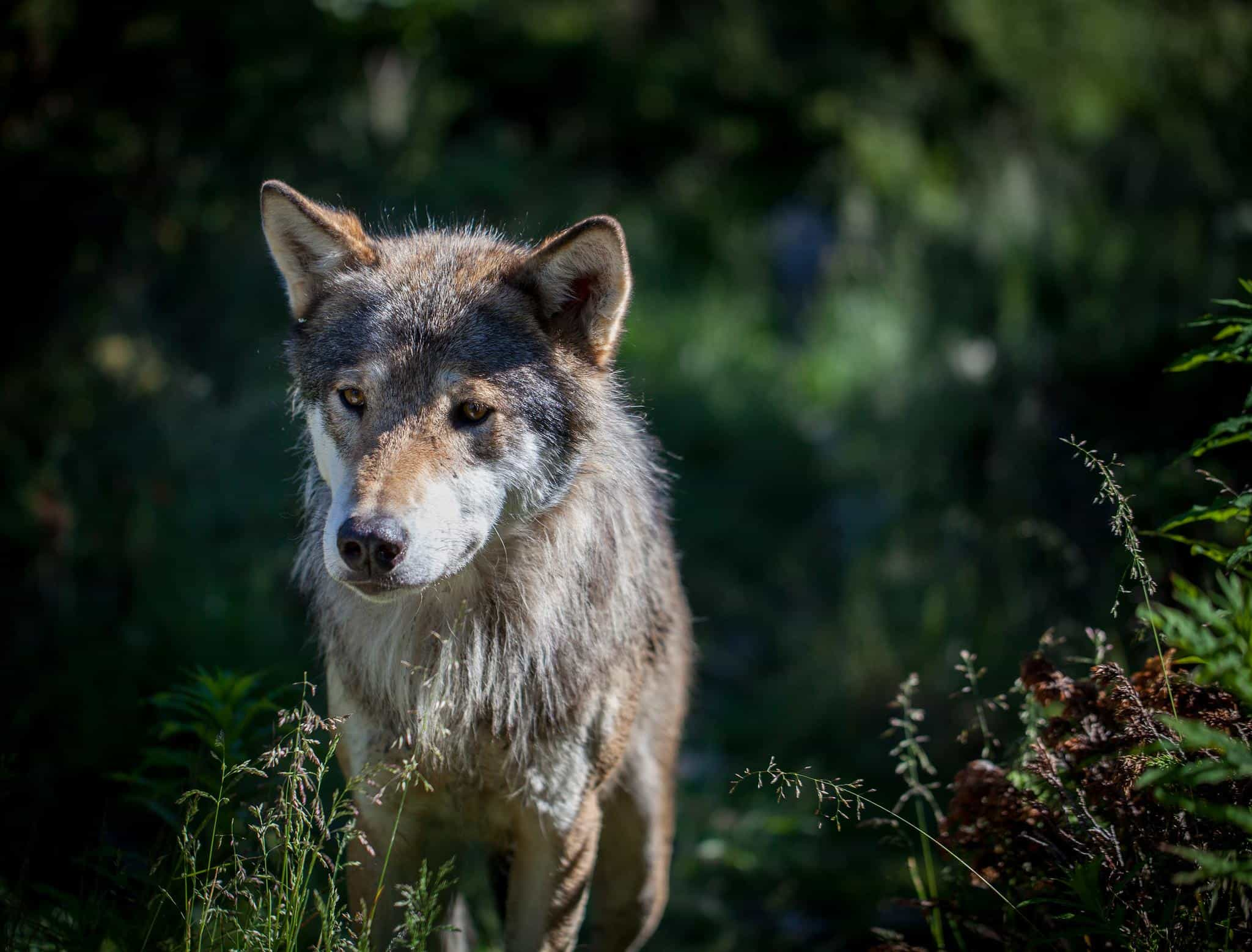 Assorted A Male Eurasian Wolf His Summer Wolf Animals Animals Female Wolf Furry Names Female Wolf Names Quiz bark post Female Wolf Names