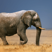 African Mammals HD