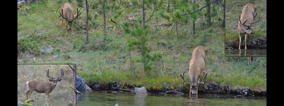 Wild Horse Island_deer