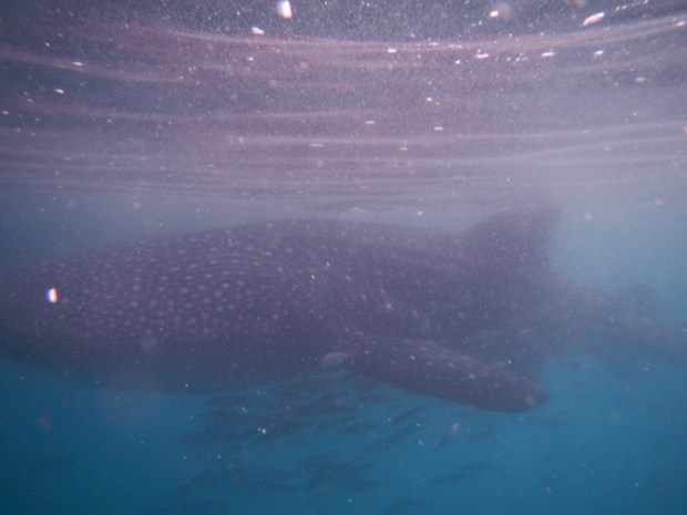 Whale sharks are filter feeders. So long as we stayed three feet away from the body and six feet from the tail we were safe.