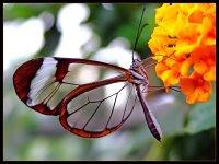 transparent-butterfly2.jpg