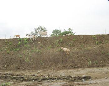 nuvali_goats.jpg