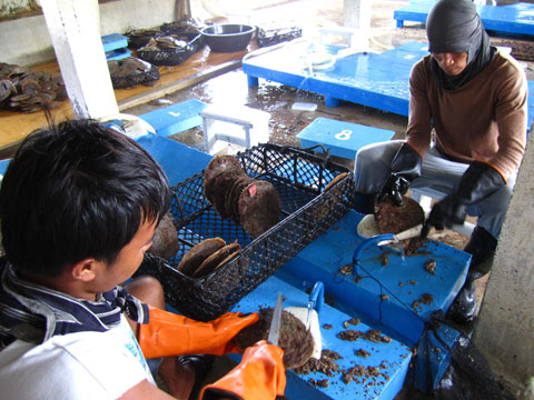 cleaning-oysters-pearl-farm
