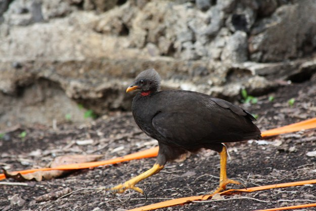 Micronesian megapode (Megapodius laperouse) by Michael Lusk. Some rights reserved.