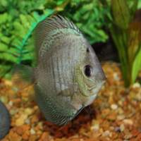 discus fish for sale nj - Discus for Sale Absolutely Fish NJ   Red Melon Discus