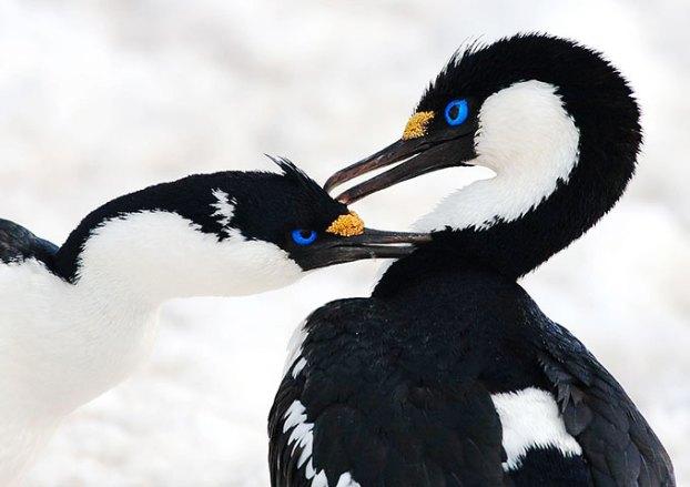 blue-eyed-shags-antarctic