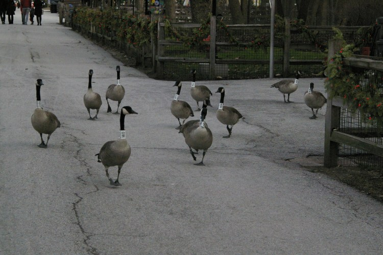 Six Geese Laid – A Holiday Fable:  Tuesday, December 22nd, on WROTE Podcast; performed by Vance Bastian
